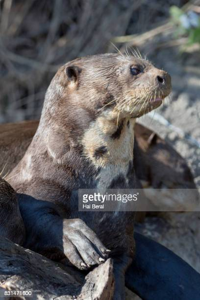 giant river otter close-up - cuiaba river stock pictures, royalty-free photos & images