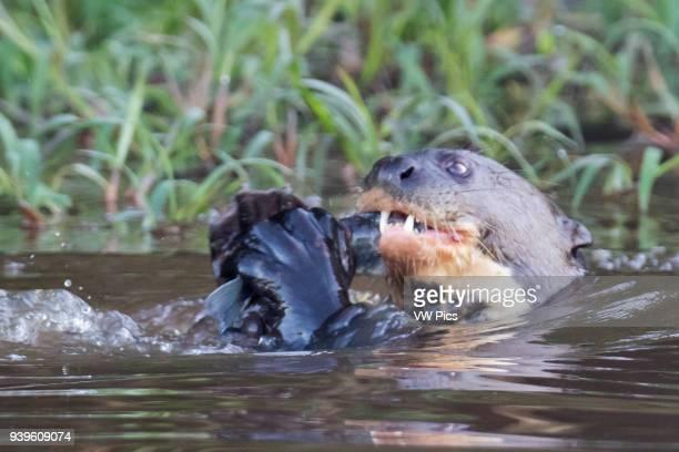 Giant River Otter eating a fish close-up Pantanal, Brazil.