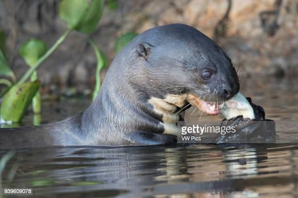 Giant River Otter eating a fish closeup Pantanal Brazil