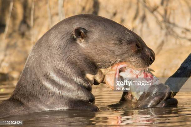 giant river otter eating a fish close-up - giant otter stock pictures, royalty-free photos & images