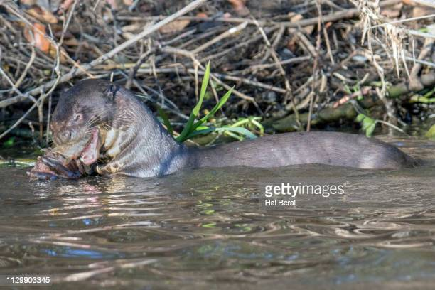 giant river otter eating a fish - giant otter stock pictures, royalty-free photos & images