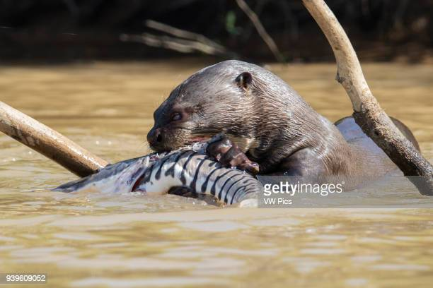 Giant River Otter eating a large fish Pantanal Brazil