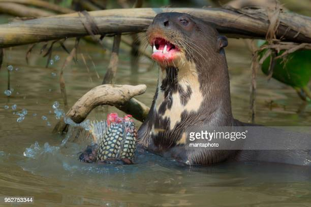 giant river otter eating fish - pantanal wetlands stock photos and pictures