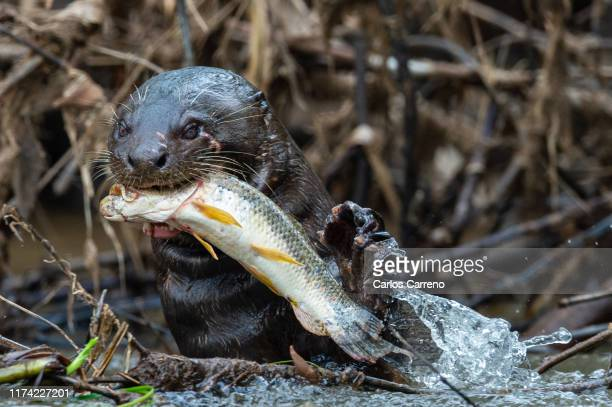 giant river otter feeding - giant otter stock pictures, royalty-free photos & images