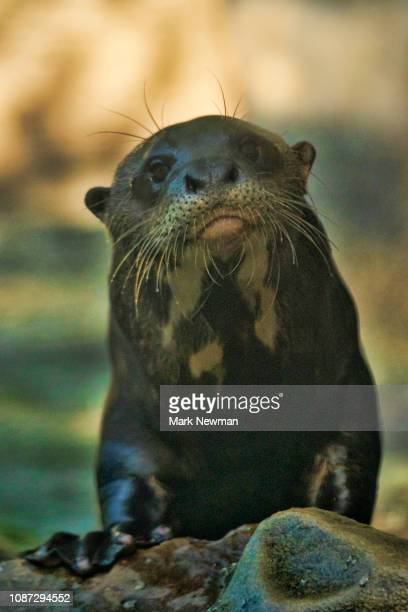 giant river otter - giant otter stock pictures, royalty-free photos & images