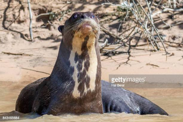 giant river otter resting in shallow water - shallow hal stock pictures, royalty-free photos & images