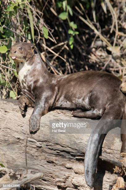 giant river otter resting on shore - cuiaba river stock pictures, royalty-free photos & images