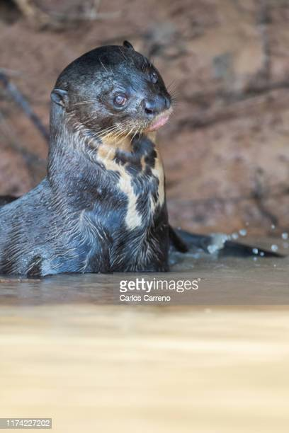 giant river otter side glance - giant otter stock pictures, royalty-free photos & images