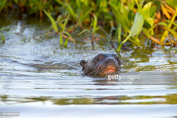Giant river otter swimming in a tributary of the Cuiaba River near Porto Jofre in the northern Pantanal Mato Grosso province in Brazil