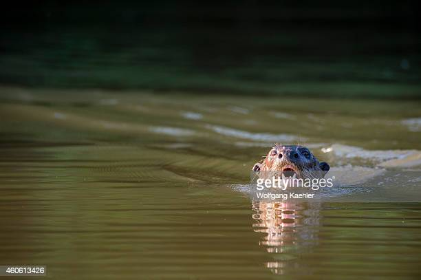Giant river otter swimming in the Pixaim River in the northern Pantanal Mato Grosso province in Brazil