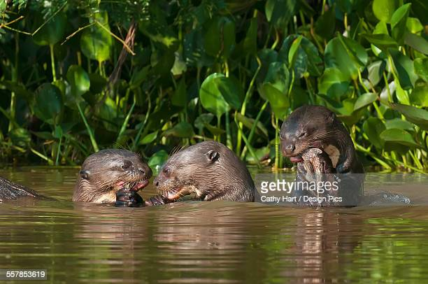 giant river otters (pteronura brasiliensis) eat fish along the cuiba river in the pantanal - giant otter stock pictures, royalty-free photos & images