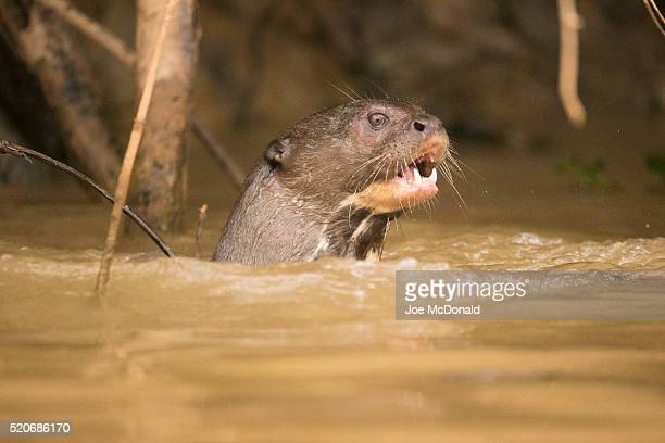 giant river otters playing in river - giant otter stock pictures, royalty-free photos & images