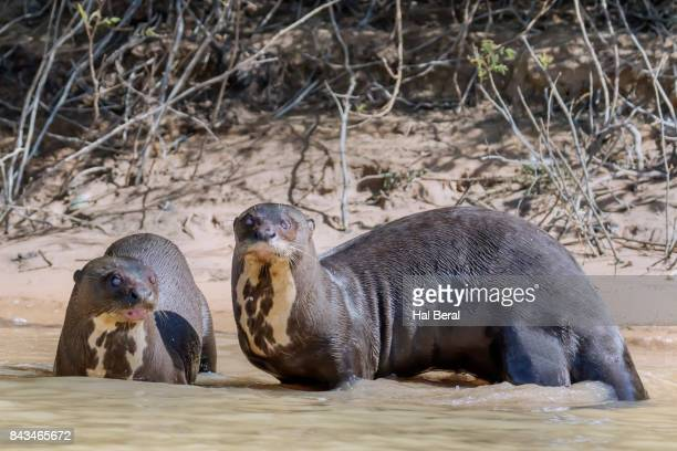 Giant River Otters resting in shallow water