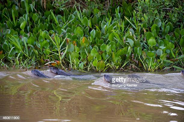 Giant river otters swimming in a tributary of the Cuiaba River near Porto Jofre in the northern Pantanal, Mato Grosso province in Brazil.