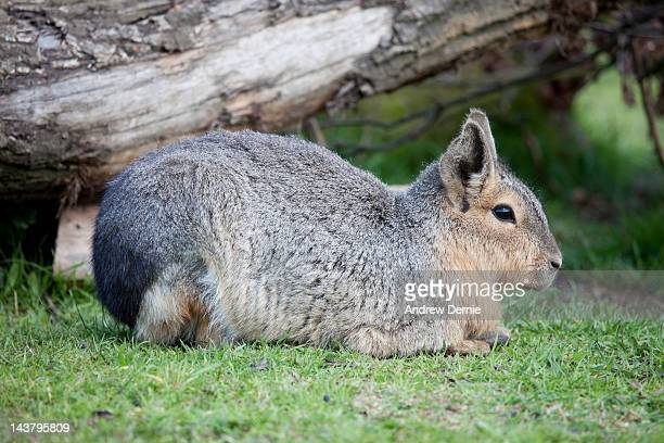 giant rodent - andrew dernie stock pictures, royalty-free photos & images