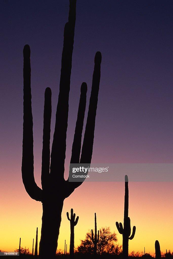 Giant Saguaro cacti at sunset , Organ Pipe Cactus National Monument , Arizona : Stockfoto