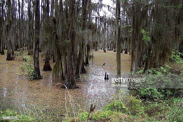 Giant salvinia spreads beneath the cypress breaks at Moss Slough on Caddo Lake in Louisiana US near the Texas border on April 3 2008 As Caddo Lake's...