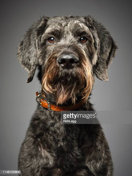 giant schnauzer poodle mix dog giant schnoodle - mixed breed dog stock pictures, royalty-free photos & images