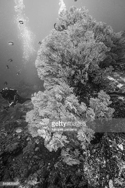 Giant sea fan and divers