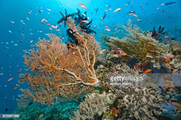 Giant Sea Fan (Melithea sp.) with Black Featherstar (Comantula rotalarius), cabbage coral (Sinularia gibberosa), coral reef, densely covered, Raja Ampat Archipelago, Papua Barat, Western New Guinea, Pacific Ocean, Indonesia