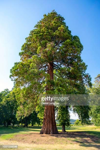 giant sequoia also known as giant redwood (sequoiadendron giganteum) - sequoia tree stock pictures, royalty-free photos & images