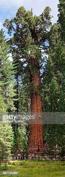 giant sequoia general sherman -sequoiadendron giganteum- in the giant forest, sequoia national park, california, united states - sequoia national forest stock photos and pictures