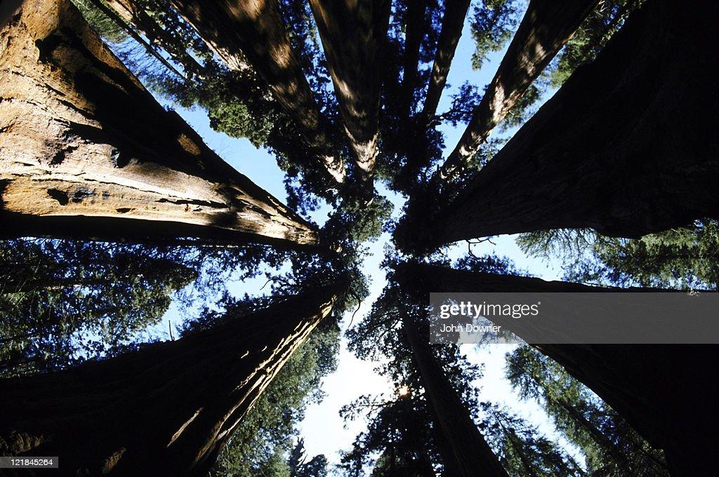 giant sequoia : Foto de stock