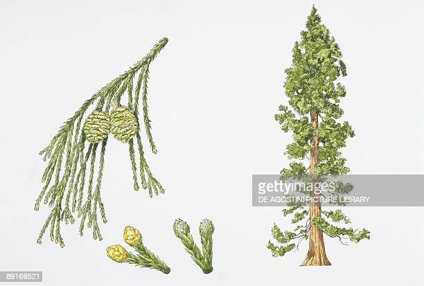 Giant Sequoia plant with flower leaf and seed illustration