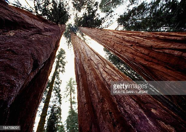 Giant sequoia specimens Cupressaceae Sequoia National Park California USA