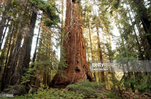 A giant sequoia tree dwarfs the surrounding forest along the Trail of the 100 Giants which is threatened by the outofcontrol McNally Fire July 25...