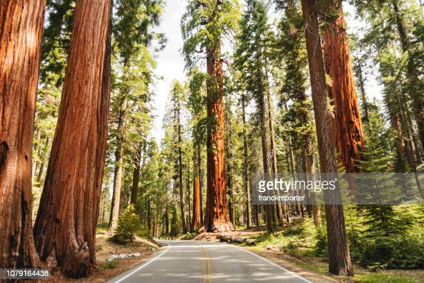 giant sequoia tree - california stock pictures, royalty-free photos & images
