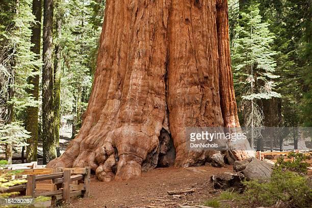 giant sequoia tree - redwood tree stock photos and pictures