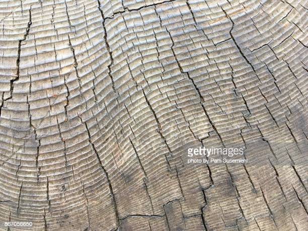 Giant Sequoia Tree Rings