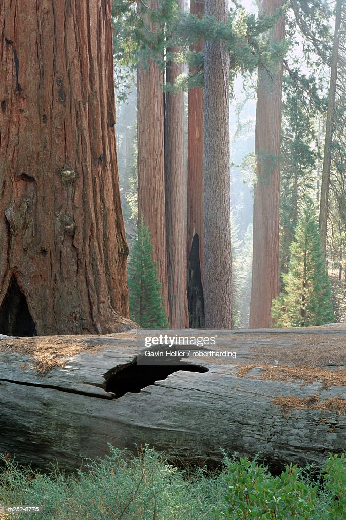 Giant sequoia tree, Sequoia National Park, California, United States of America (U.S.A.), North America : Stock Photo