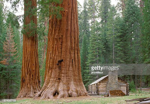 Giant Sequoia Trees and Log Cabin