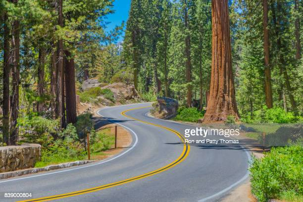 Giant sequoia trees in Sequoia National Park, California, USA