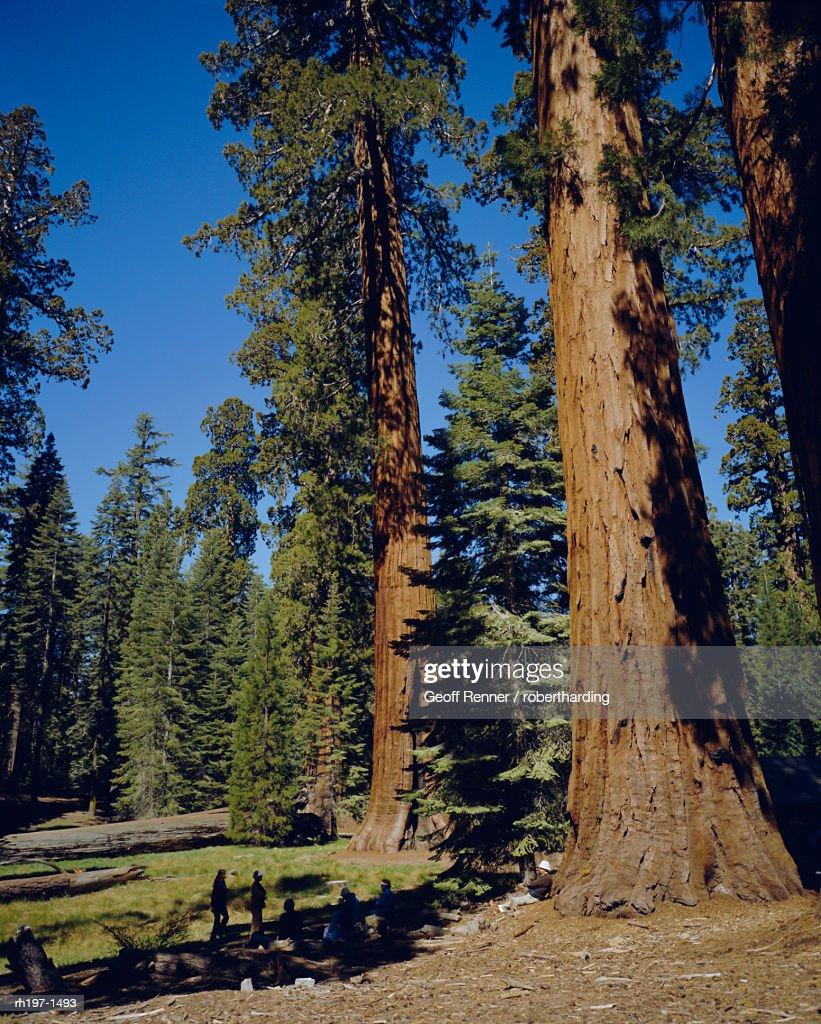 Giant sequoia trees, Mariposa Grove, near Yosemite, California, USA, North America : Foto de stock