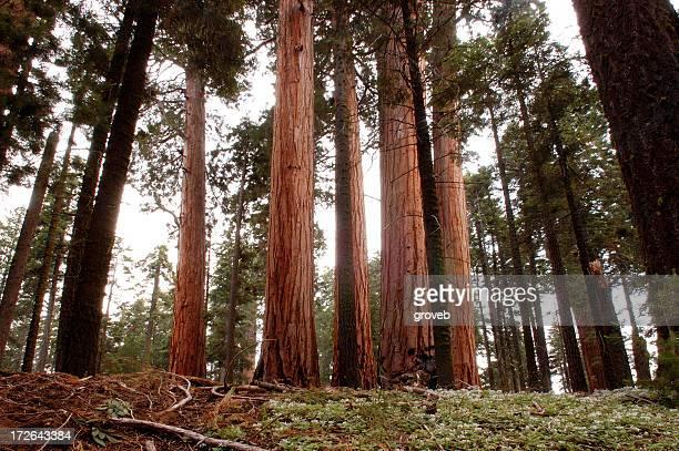 Sequoia gigante árvores
