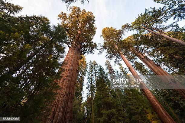Giant sequoia trees, Sequoia National Park, California, USA