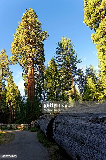 giant sequoia trees -sequoiadendron giganteum- in the giant forest, sequoia national park, california, united states - sequoia national forest stock photos and pictures