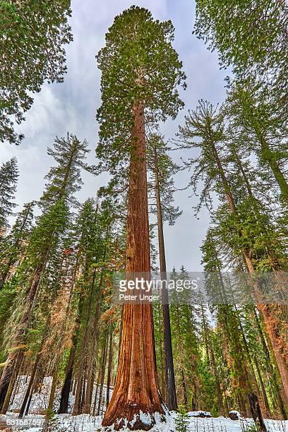 giant sequoia,mariposa grove, yosemite - sequoia tree stock pictures, royalty-free photos & images