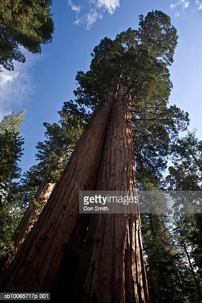 giant sequoias, low angle view - don smith stock-fotos und bilder