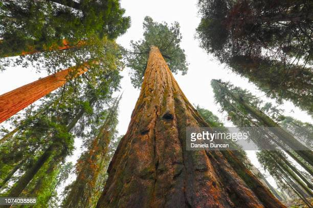giant sequoias - redwood tree stock photos and pictures