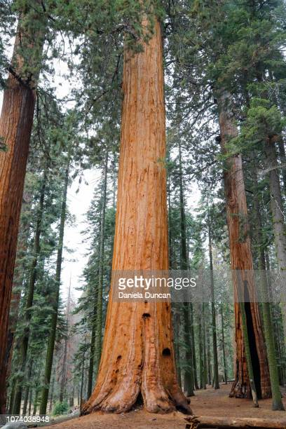 giant sequoias - tree trunk stock pictures, royalty-free photos & images