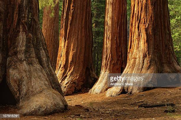 giant sequoias, yosemite national park - california strong stock photos and pictures