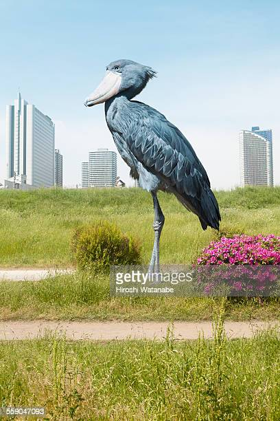 Giant shoebill standing on the ground