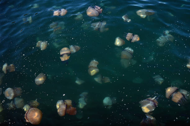 ITA: Giant Smack Of Jellyfish Invades Gulf Of Trieste