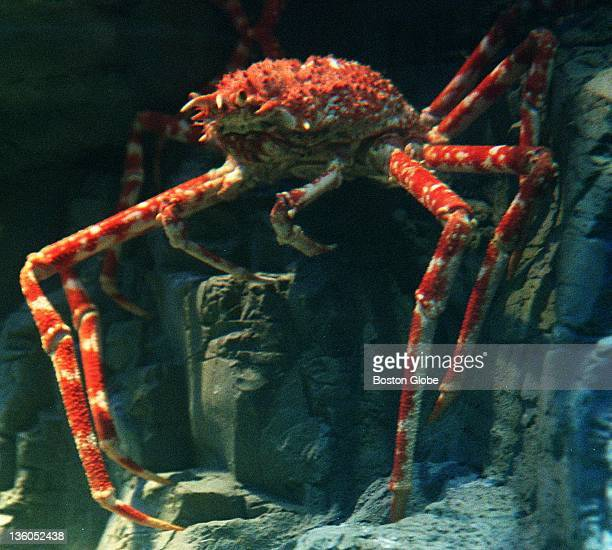 Giant spider crab from Japan at the new exhibit at the Aquarium