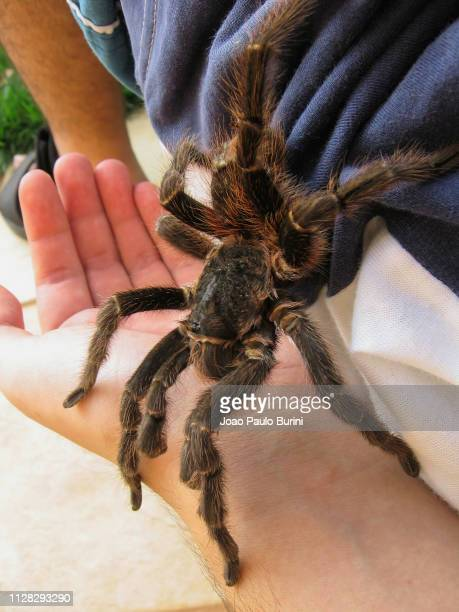 giant spider on a person - biggest stock pictures, royalty-free photos & images