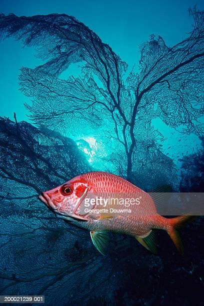 giant squirrelfish and gorgonian fan (digital composite) - squirrel fish stock photos and pictures